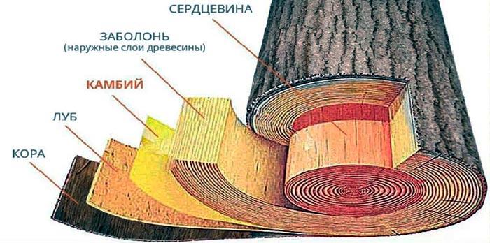 структура древесины